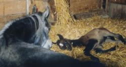 Shagya-Araber Zuchtstute Thegla bei der Geburt ihres ersten Fohlen
