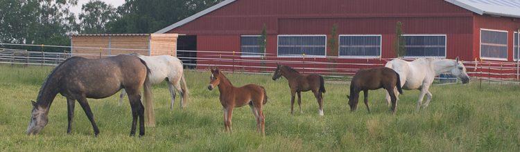 Pferde im Gestüt: Stuten und Fohlen