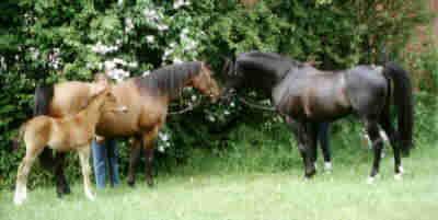 zwischen zwei Fohlenjahrgängen: Thirza mit Fohlen bei Fuß und Hengst Bahadur beim Abprobieren