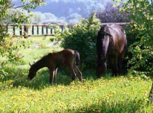 Erster Fohlenjahrgang: Tobye mit ihrem ersten Fohlen Thaya im Garten