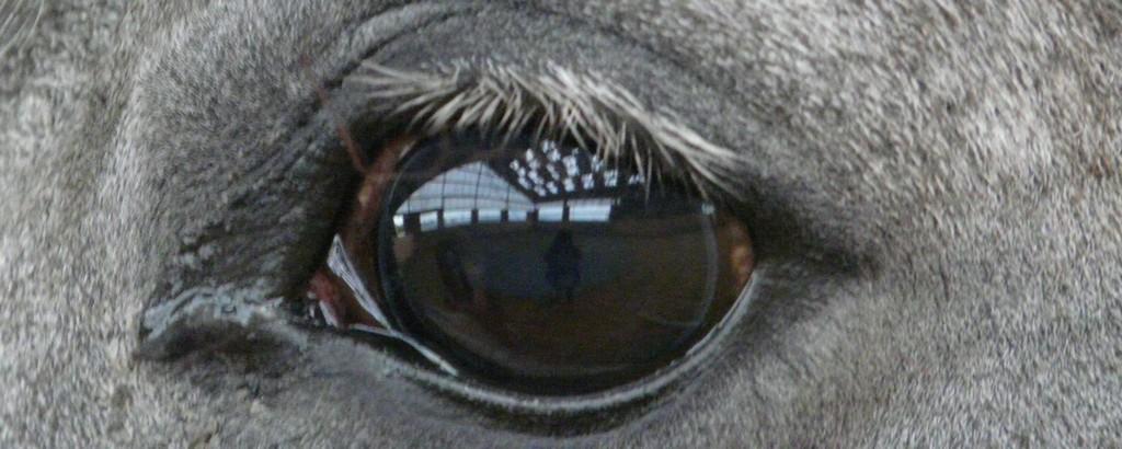 Shagya-Araber Auge
