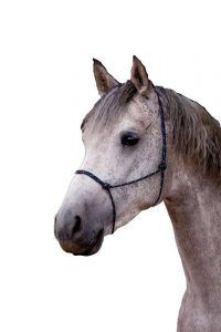 Shagya-Araber Deckhengst Batya - eine Seele von Pferd
