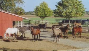 Pferde fühlen sich wohl im Offenstall im Gestüt Mühlen